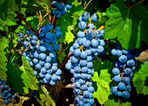 Grapes from Potter's Settlement