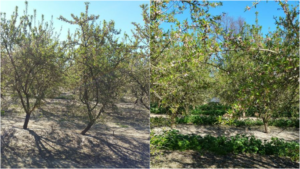 Comparison of almonds grown conventionally and using PNTI fertilizer. More growth with PNTI.