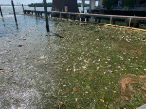 Dead fish in a harbor.