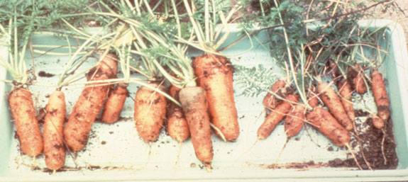 carrots-dh