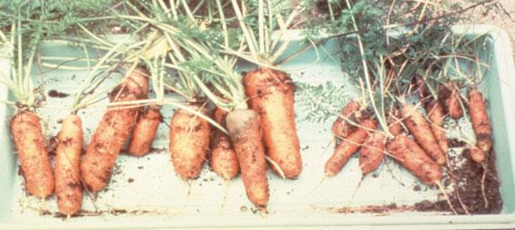 carrots-dh