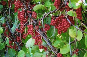 dr-chang-2berries-350