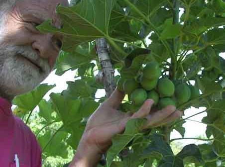 jatropha1yroldfruit_crop